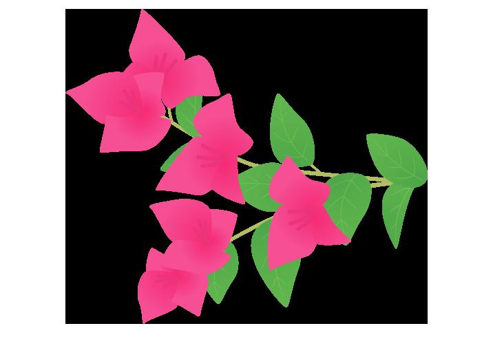 ブーゲンビリア