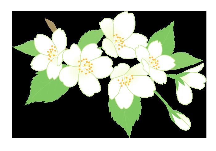 サクラ(オオシマザクラ)