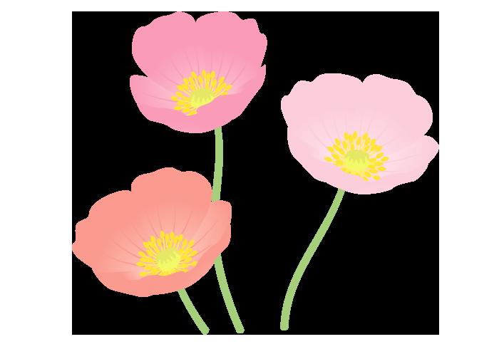ピンク色のポピー