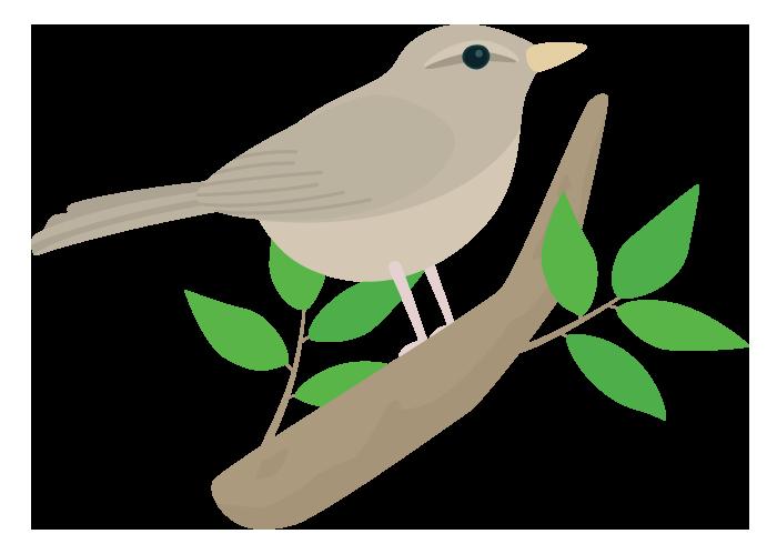 ウグイス(鶯)