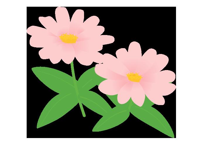 ピンクのヒャクニチソウ(百日草)