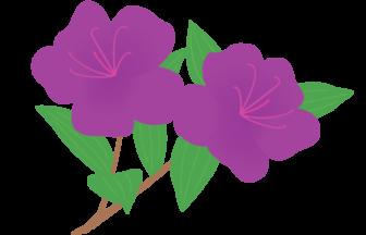 シコンノボタン(紫紺野牡丹)