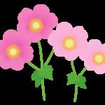 ピンク色のシュウメイギク(秋明菊)